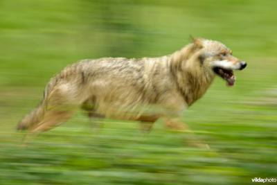 Wolf in draf - foto: Rollin Verlinde